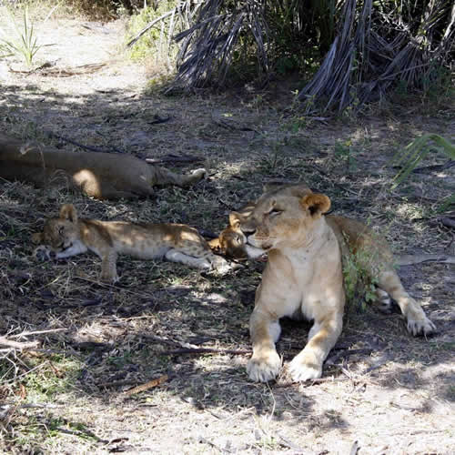 Lions at Selous National Game Reserve